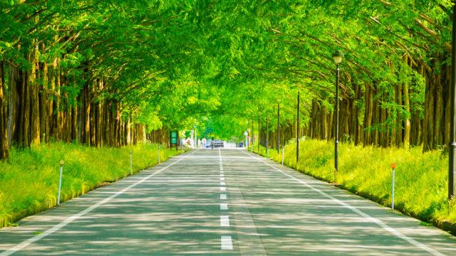 滋賀県マキノ高原 新緑のメタセコイア並木道