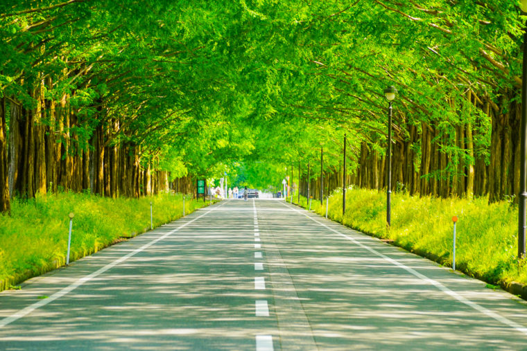 滋賀県マキノ高原|新緑のメタセコイア並木道