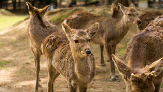 奈良でおすすめの観光スポット 鹿