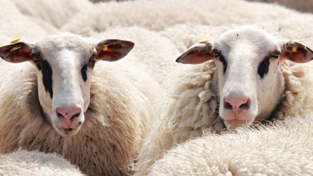 北海道旅行におすすめの札幌グルメ「ジンギスカン」|羊