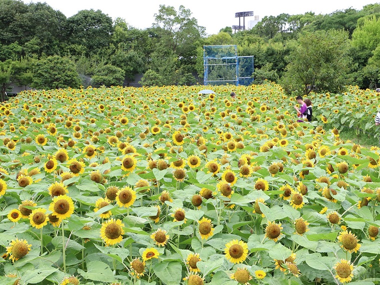 大阪のおすすめひまわり畑|長居植物園