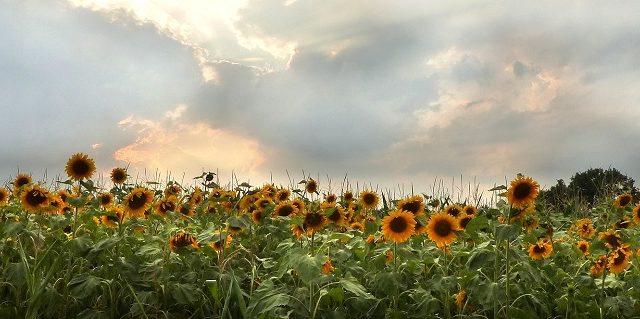 関西でおすすめのひまわり畑|奈良県編