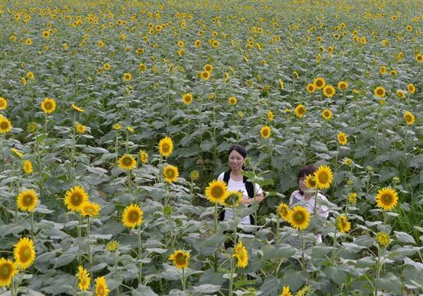 和歌山でおすすめのひまわり畑「復興のひまわり」