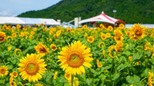 福井県|若狭小浜 恵のひまわり畑