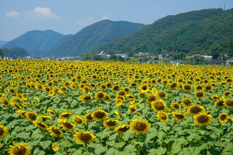 兵庫県「佐用町南光ひまわり畑」