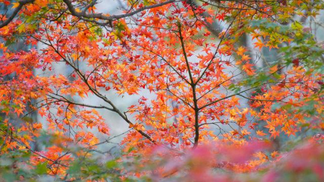 京都「琵琶湖疏水の紅葉」