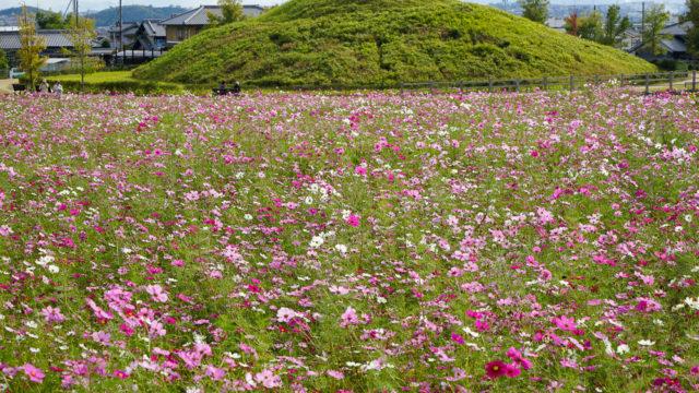 奈良「藤ノ木古墳」のコスモス