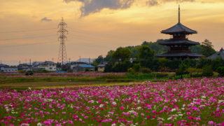 奈良「法起寺」コスモスと夕日