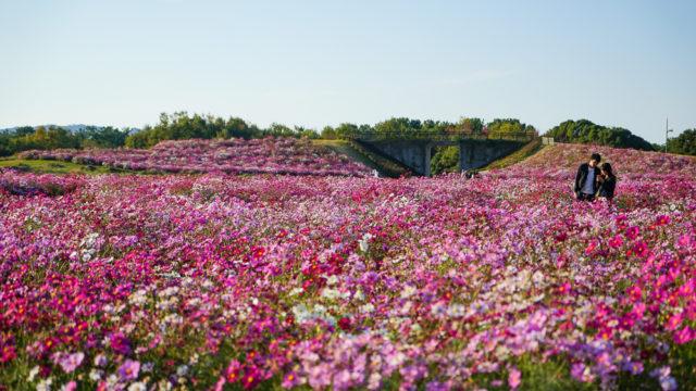 福岡「海の中海浜公園」のコスモス