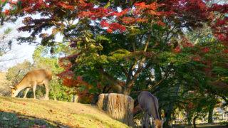 奈良公園の紅葉と鹿