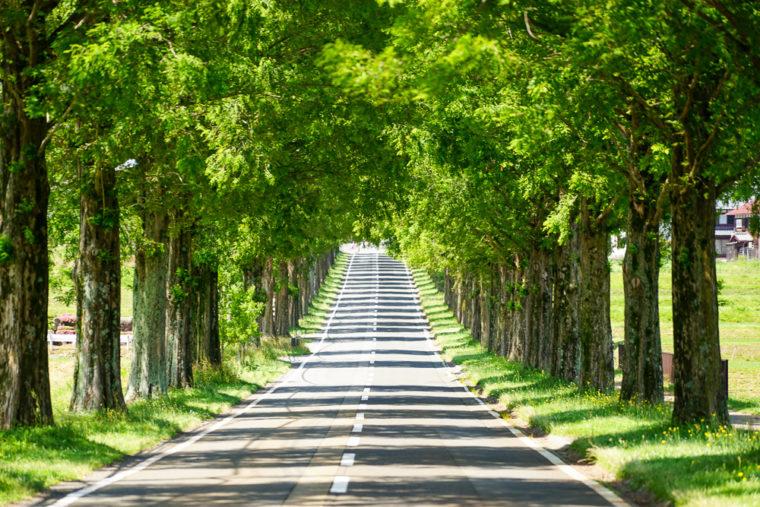 滋賀県マキノ町「メタセコイア並木道」のアクセス