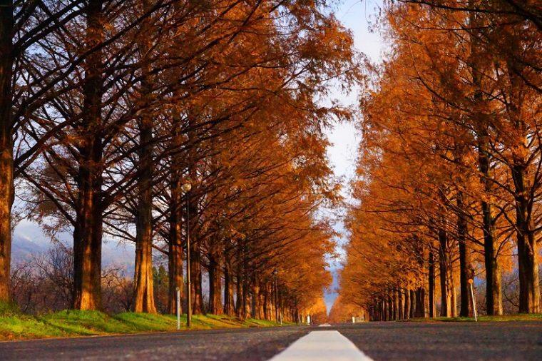 滋賀「メタセコイア並木道」の紅葉