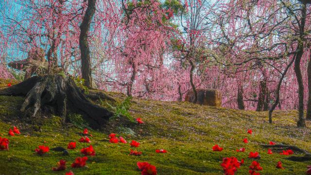 城南宮のしだれ梅と椿