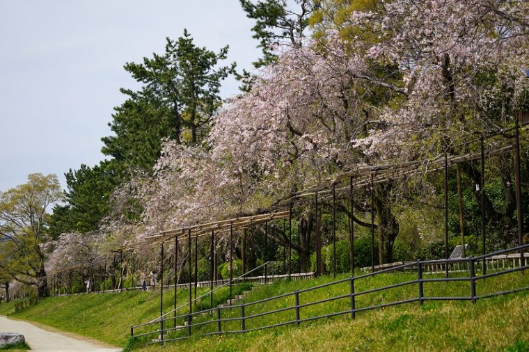 京都の桜名所「半木の道」