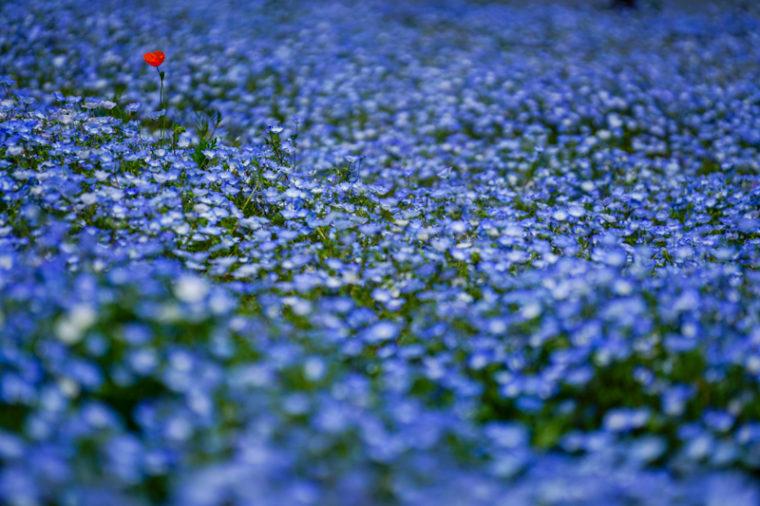 関西でおすすめのネモフィラ畑|見頃や開花情報、アクセスを紹介!