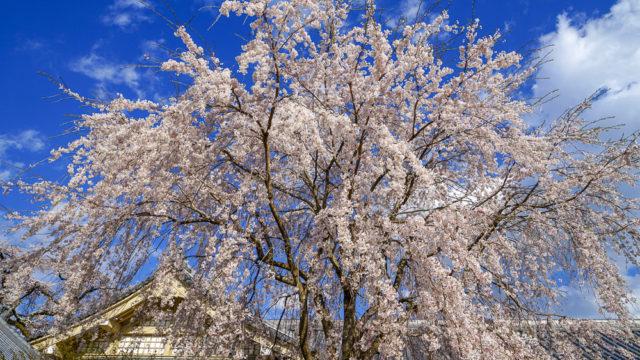 京都の桜名所旅行記「醍醐寺」