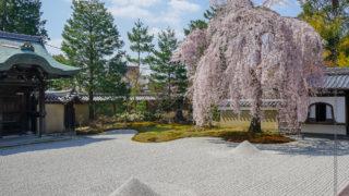 京都の桜名所旅行記「高台寺」