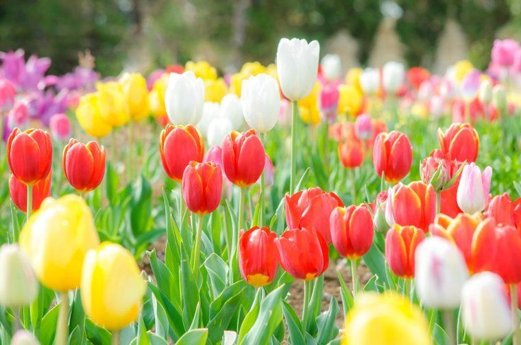 関西のおすすめチューリップ畑|見頃、開花情報、アクセスを紹介