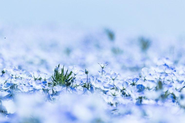 関西のおすすめネモフィラ畑|見頃や開花情報、アクセスを紹介