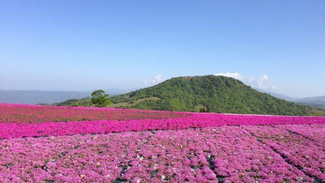 関西でおすすめの芝桜名所