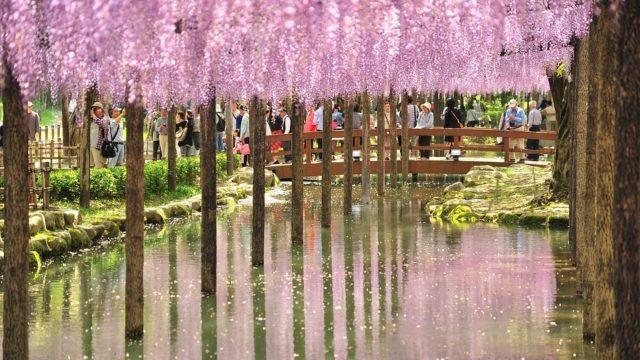関西でおすすめの藤の名所