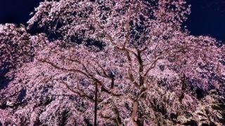 京都夜桜スポットまとめ