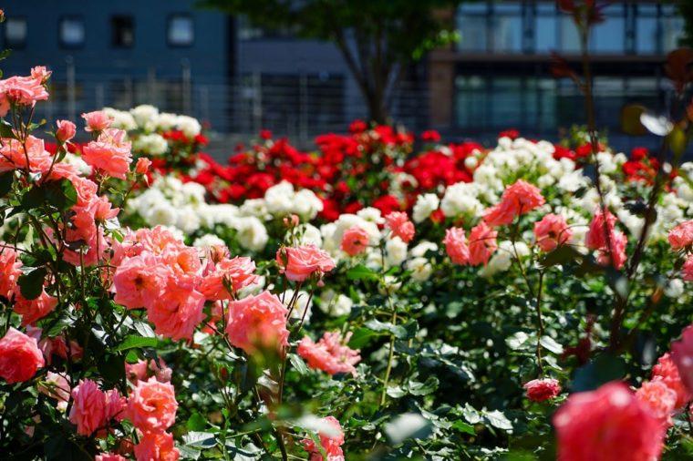 関西のおすすめ秋のバラ園「中之島公園 バラ園」|見頃・開花情報、アクセスを紹介