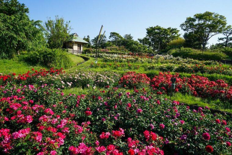 関西のおすすめ秋バラ庭園「浜寺公園ばら庭園」