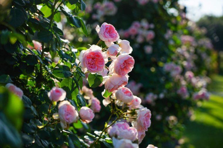 大阪の薔薇(バラ)園「浜寺公園ばら庭園」見頃や開花情報、アクセスなどを紹介