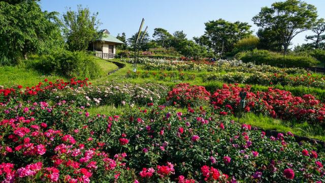 浜寺公園ばら庭園