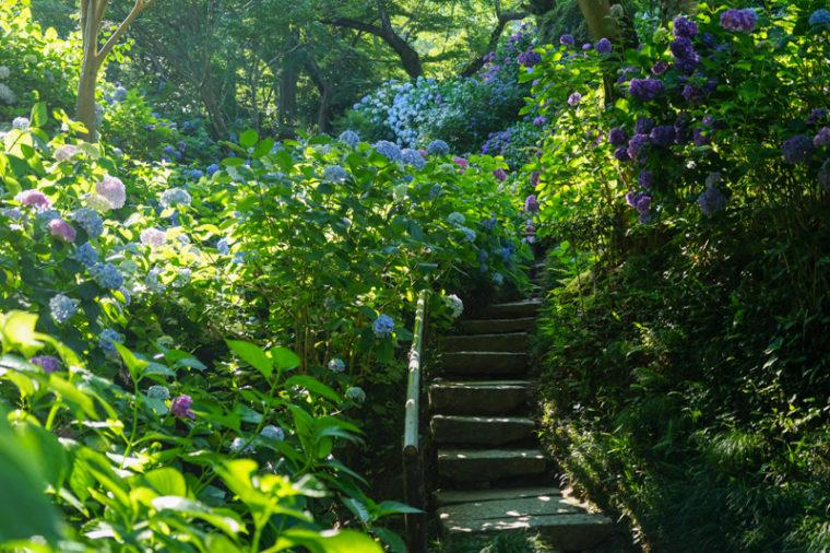 奈良のあじさい寺「矢田寺」|見頃・開花情報、アクセスを紹介