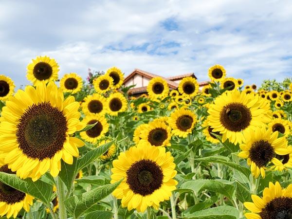 関西のおすすめひまわり畑まとめ|見頃や開花情報、アクセスなどを紹介