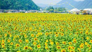 関西・兵庫のひまわり畑「佐用町南光ひまわり畑」