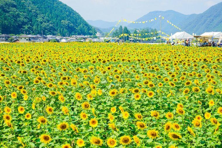 兵庫のおすすめ絶景スポット「佐用町南光ひまわり畑」