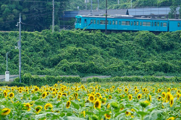 奈良のひまわり畑「五條市上野町ひまわり園」