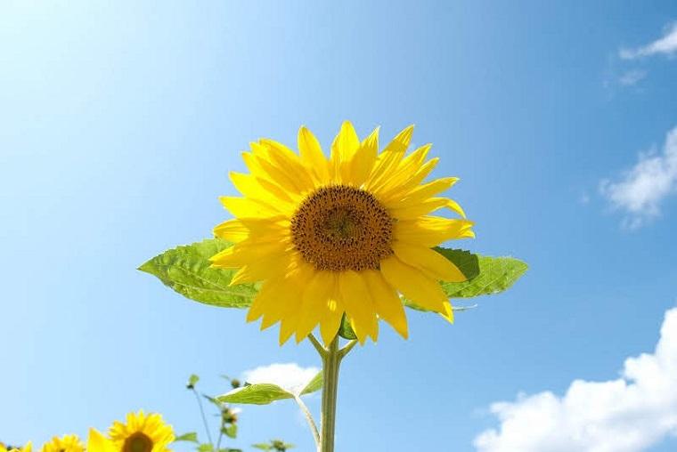 滋賀のおすすめひまわり畑「第1なぎさ公園」見頃や開花情報、アクセスなどを紹介