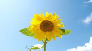 兵庫県の「たんとう花公園 ひまわり畑」