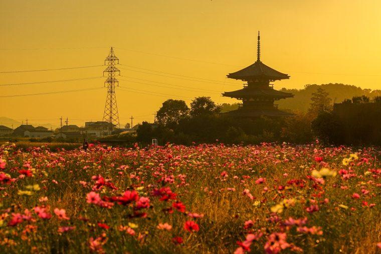 関西・奈良のおすすめコスモス畑「法起寺」