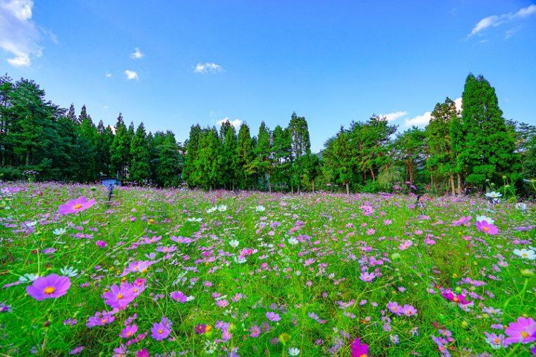関西・大阪のコスモス園「とよのコスモスの里」