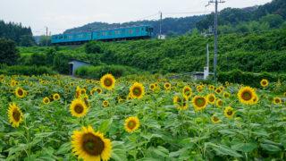 奈良「五條市上野町ひまわり園」