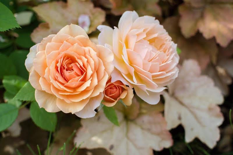 関西のおすすめ秋の薔薇(バラ)園