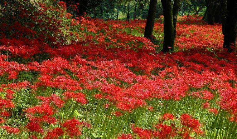 関西のおすすめの彼岸花(曼珠沙華)の名所