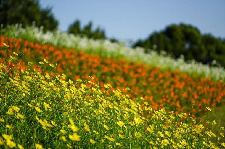 関西・大阪のコスモス畑「万博記念公園・花の丘」