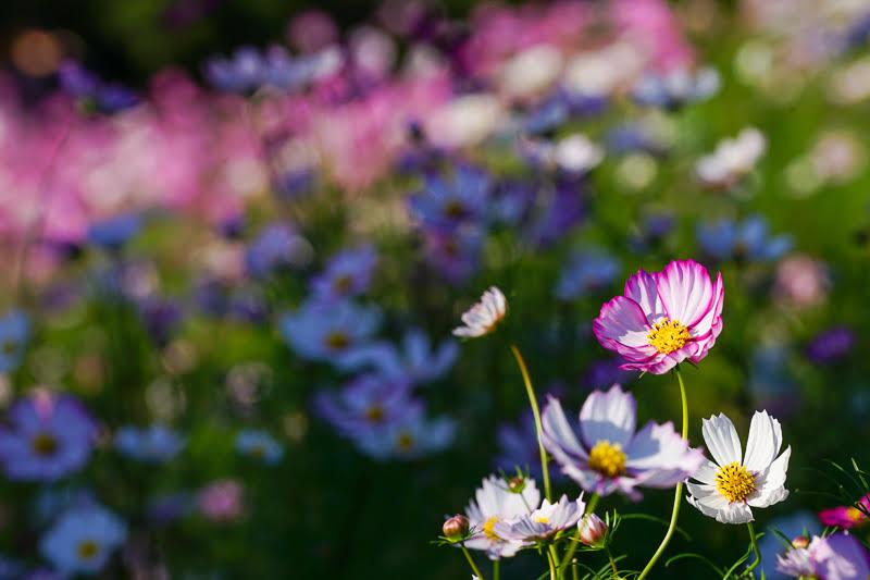関西・大阪のおすすめコスモス畑「万博記念公園・花の丘」