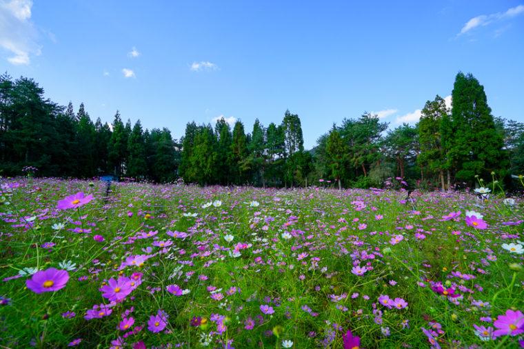 関西・大阪のコスモス畑「とよのコスモスの里」