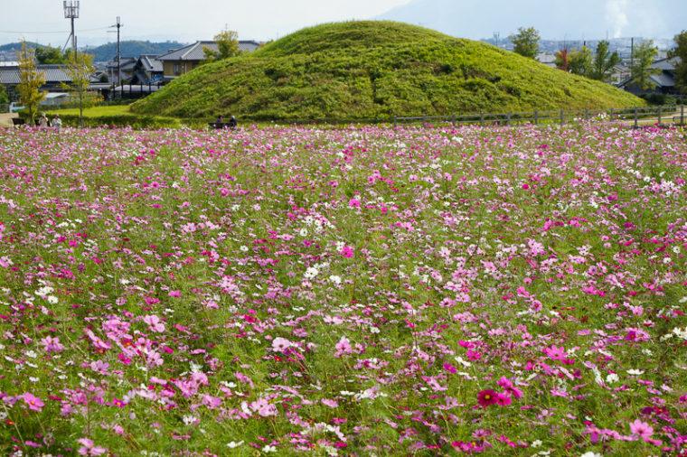 関西・奈良のおすすめコスモス畑「藤ノ木古墳」