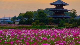 関西・奈良のコスモス名所「法起寺」