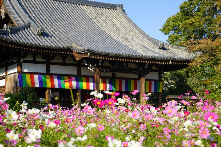 関西・奈良のコスモス名所「般若寺」