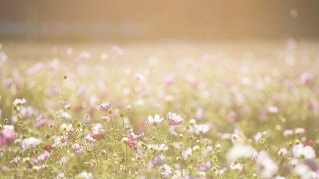 関西・兵庫県のコスモス園「武庫川 髭の渡しコスモス園」
