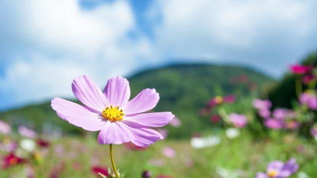 関西・京都のコスモスの名所「京都丹波/亀岡夢コスモス園」
